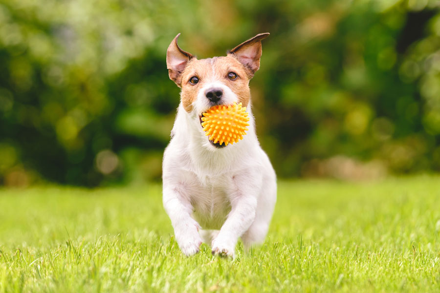 Pet-Insurance-Family-Dog-Running-With-Play-Ball
